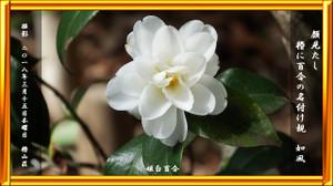 P180315hime_shirayuri_4079